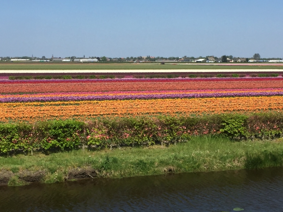yes rows of flowers.JPG