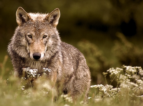 OR7, first wild wolf in California since 1924.