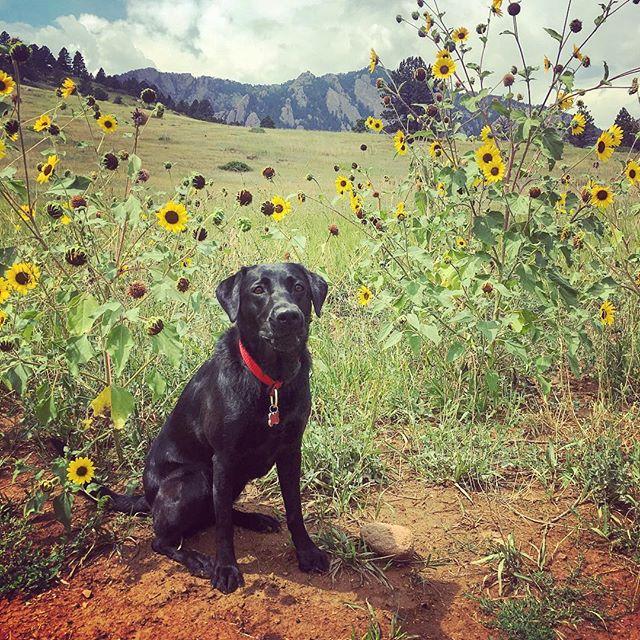 Hobbes + wall of 🌻🌻🌻🌻🌻#wildflowers #sunflowers #flowers #hike #mountains #boulder #bouldercolorado #boulderlife #dogsofboulder #dogsofcolorado #coloradodogs #adventuredog #offleash #optoutside #dogsthathike #traildog #dog #dogsofinstagram #instadog #dogstagram #blacklabrador #labrador #labradorretriever #labradorretrieversofinstagram #petlife #petsitting #dogsitting #pupcultureboulder