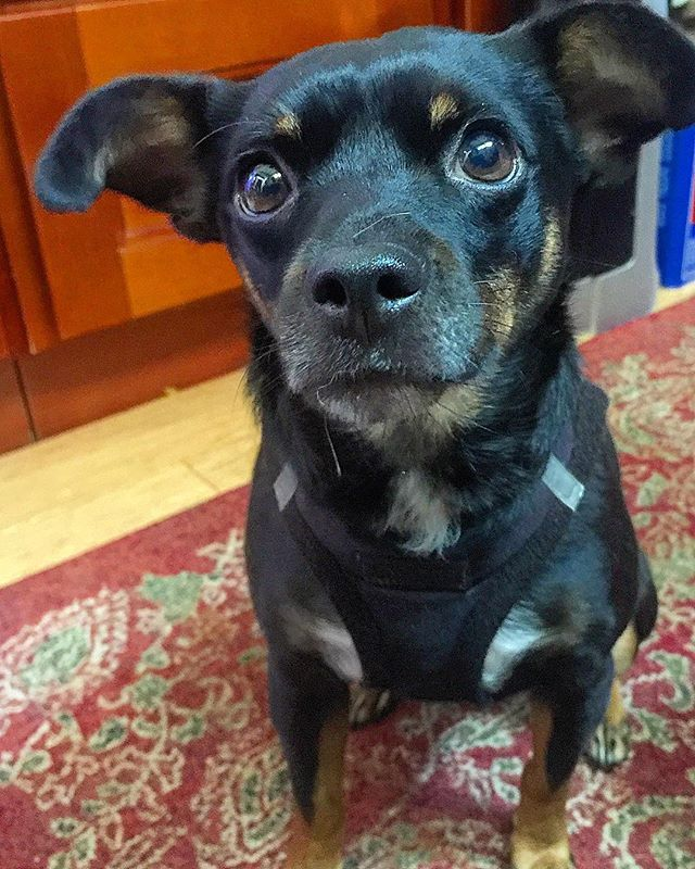 This face, though❣️Little 👑Kingston👑, you melt our 💖❤️💛💚💙💜💖's #littleking #kingofthecastle #dogsofinstagram #dogsofinstaworld #dog #dogstagram #instadog #doglover #rescuedogsofinstagram #rescuedog #instarescue #rescuegram #adopt #adoptdontshop #savealife #petlife #doglife #boulder #bouldercolorado #boulderdogs #dogsofboulder #boulderlife #coloradodogs #dogsofcolorado #mutt #muttsofinstagram #tinydog #tinyhouse #tinyhouselife #pupcultureboulder