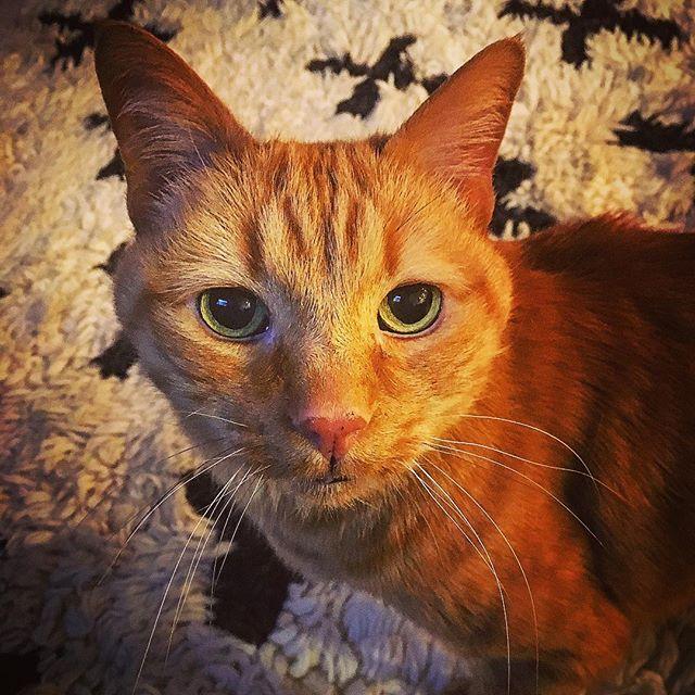 Joey cat wishes everyone a very meowy Christmas 💝🎄☃️💝 #catlife #petsofinstagram #catsofinstagram #cats_of_instagram #instacat #rescuecat #adopt #adoptdontshop #boulder #bouldercolorado #boulderlife #catsofcolorado