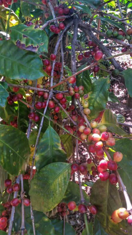 Geisha coffee berries