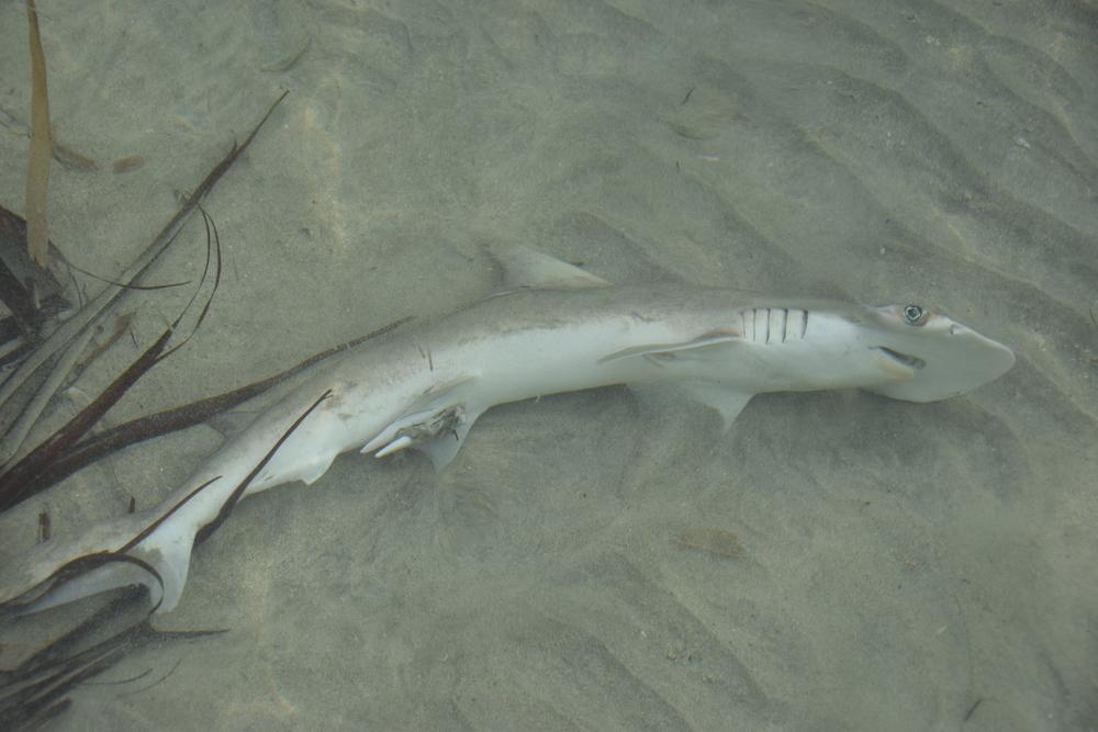 shark bocas del toro