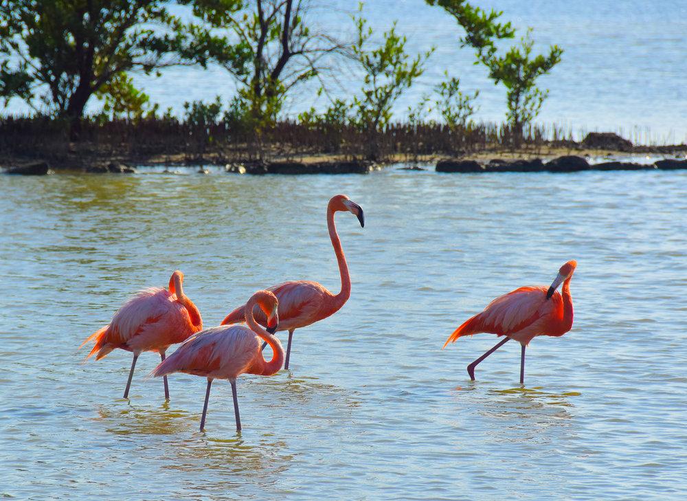 flamingoes Curaçao