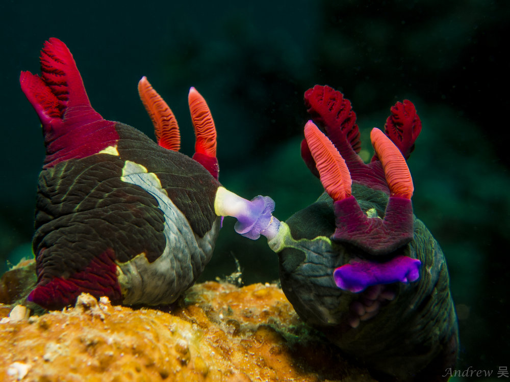 Nudibranch - Nembrotha chamberlaini (Actual color).