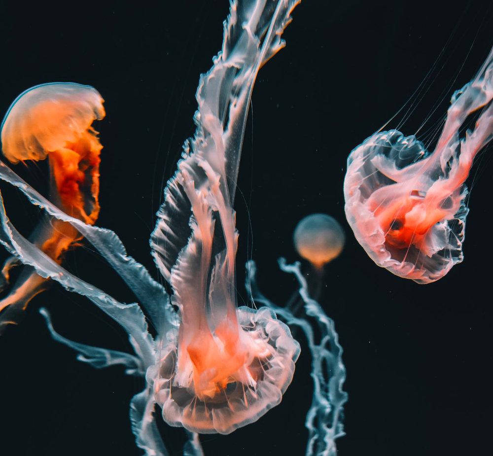 1-Biolum-jellys.jpg