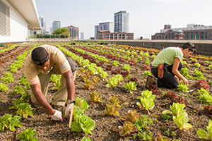 chicago-rooftop-farm-300.jpg