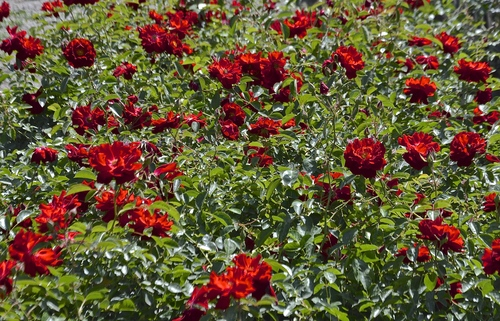 Red Ribbons Ground Cover Golden Valley Rose Distributors Llc