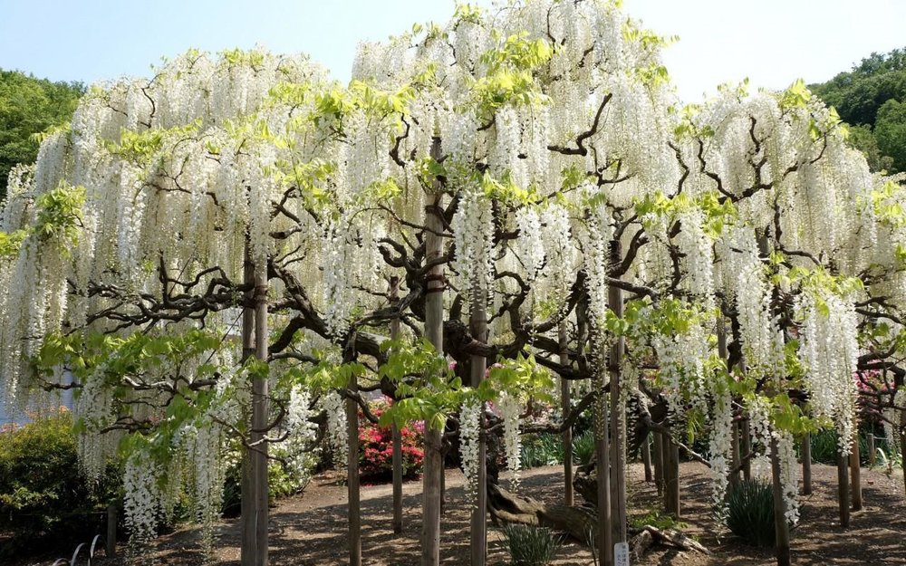 white-wisteria-wallpaper-1.jpg