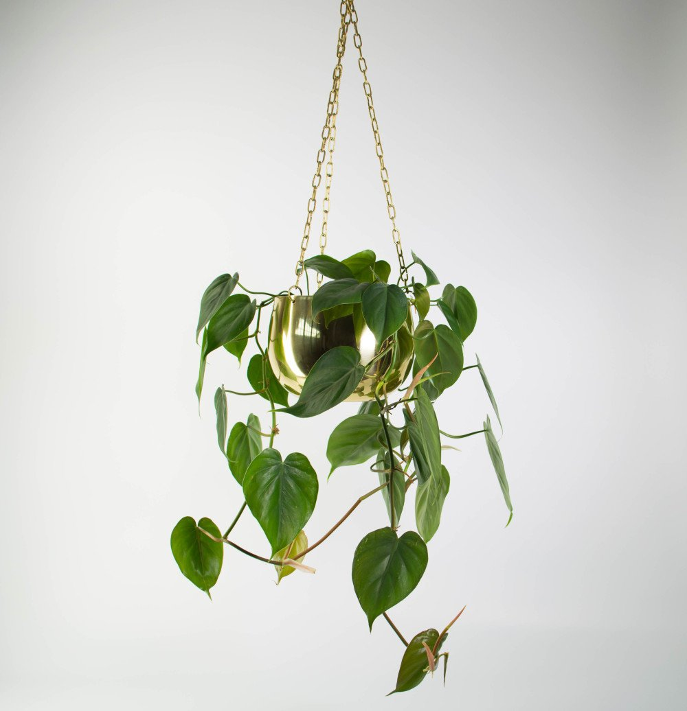 Heart-Leaf-Philodendron-in-Large-Real-Brass-Hanging-Planter-e1471839594127.jpg