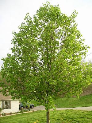 2008 Bradford Pear.jpg