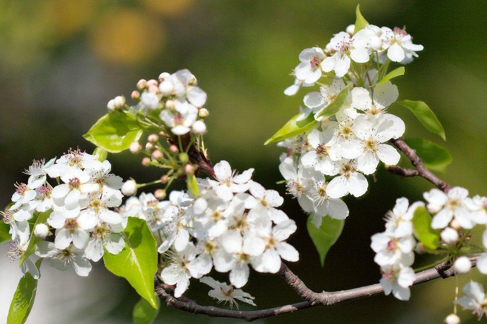 1280px-Pyrus_calleryana_callery_pear_blossom.jpg