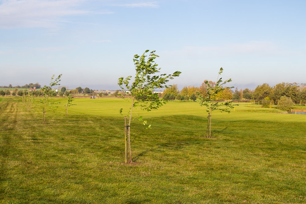 New trees on the 18th hole