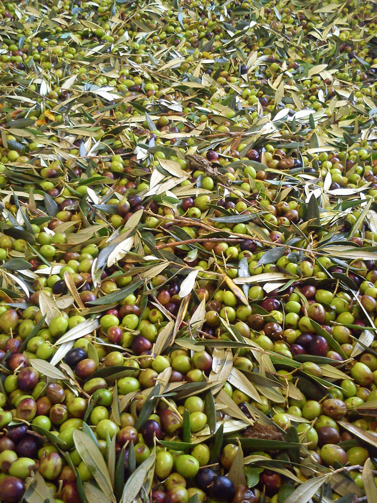 fresh olives, olive oil, olive harvest, italian oil