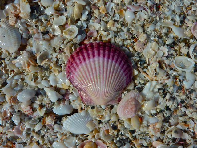 Purple-scallop-shell.jpg