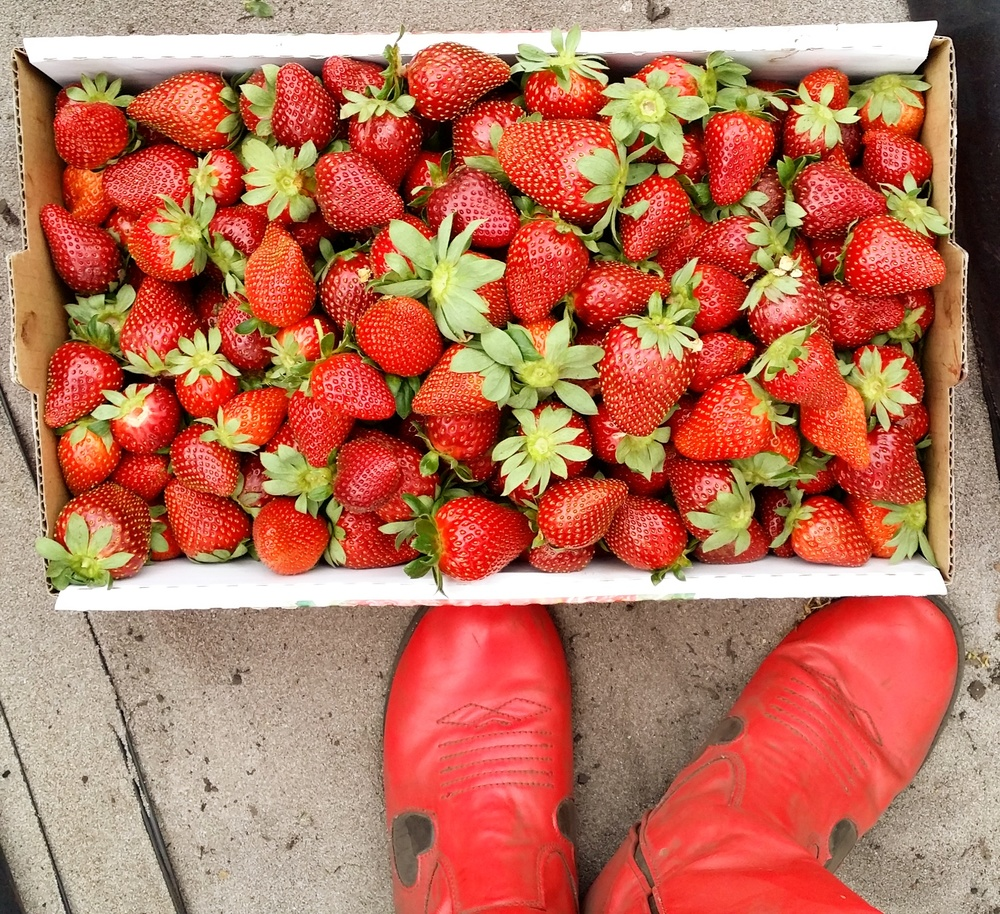 Doesn't get much fresher than that!  Now...what to do with all these strawberries??