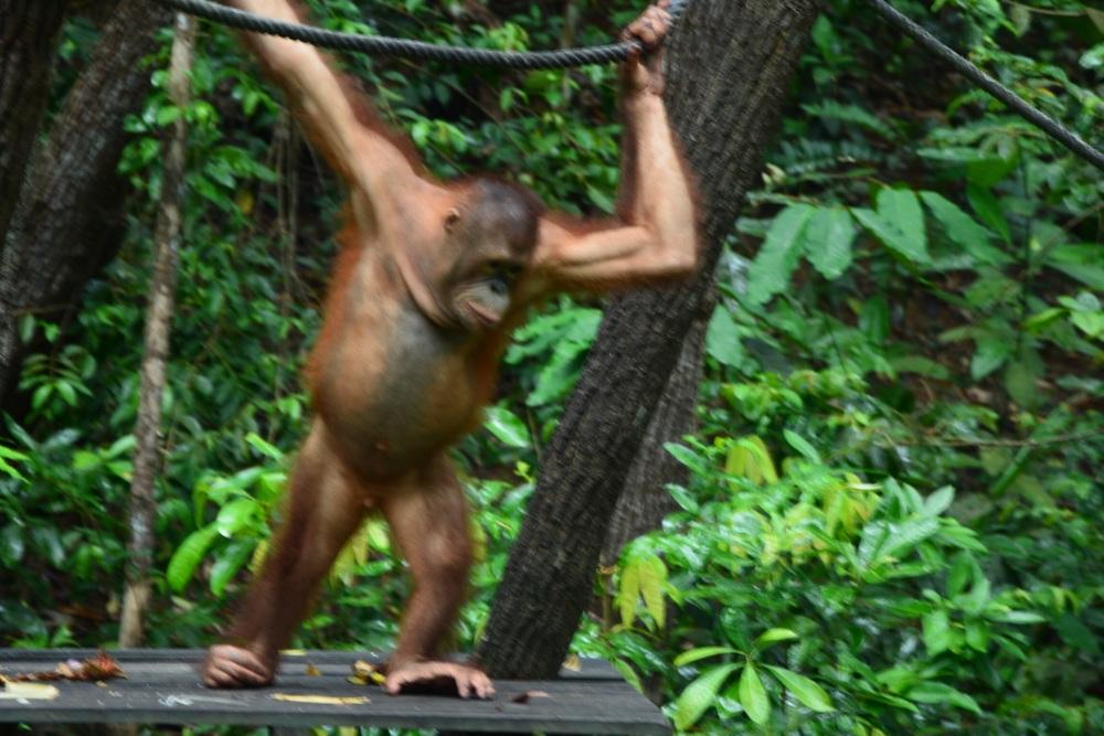A six year old rescue Orangutan.