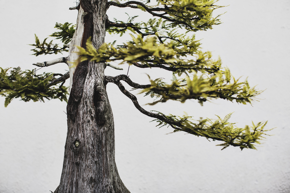 Bald Cypress bonsai, in training since 1987