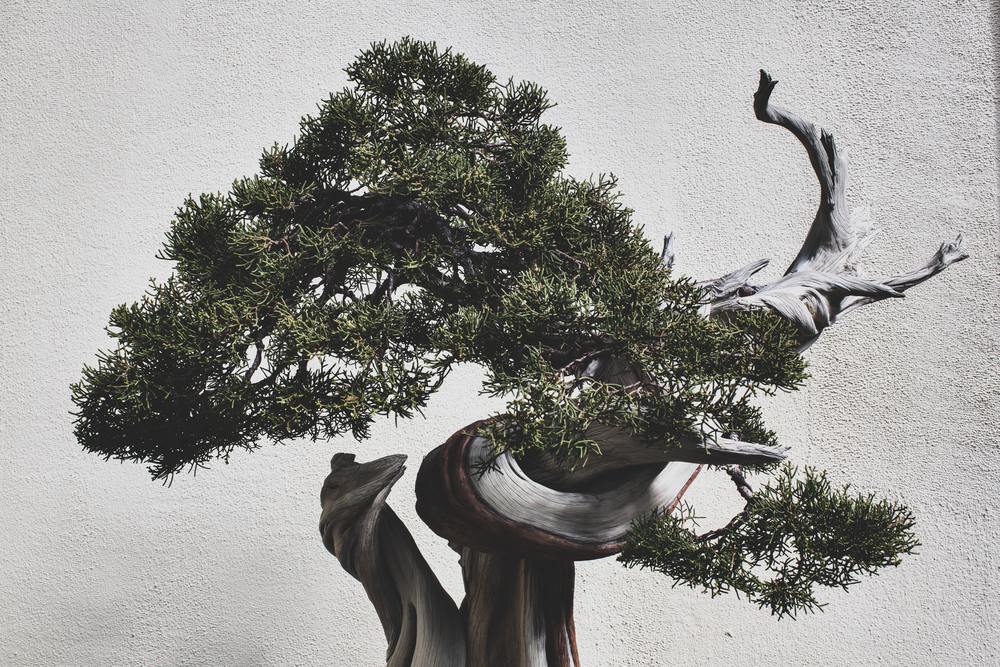 California Juniper bonsai, in training since 1985