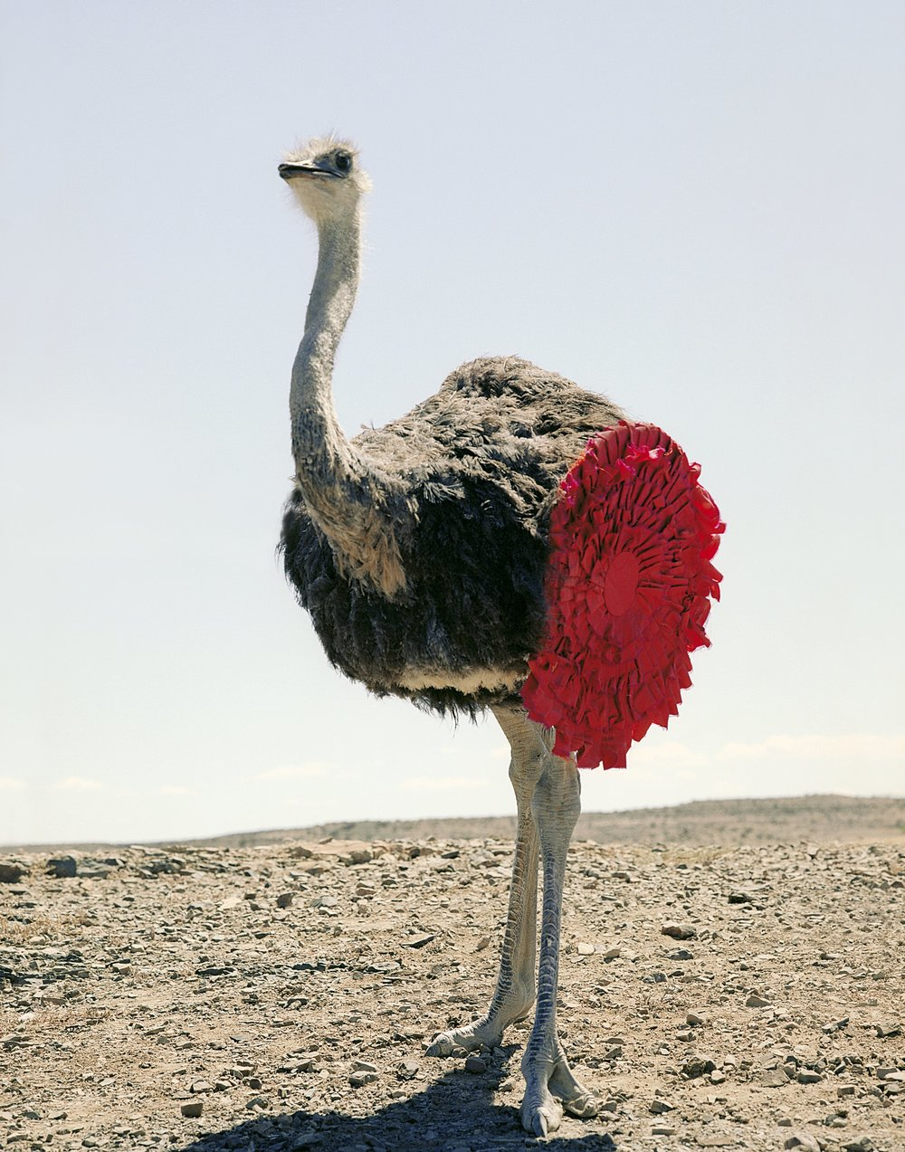 Ostrich | Kevin Mackintosh.jpg