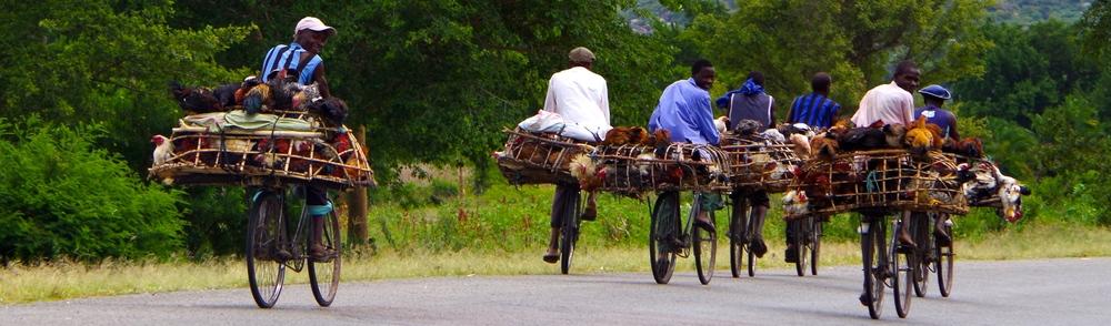 An innovative way to bring chickens to market, Uganda  2012