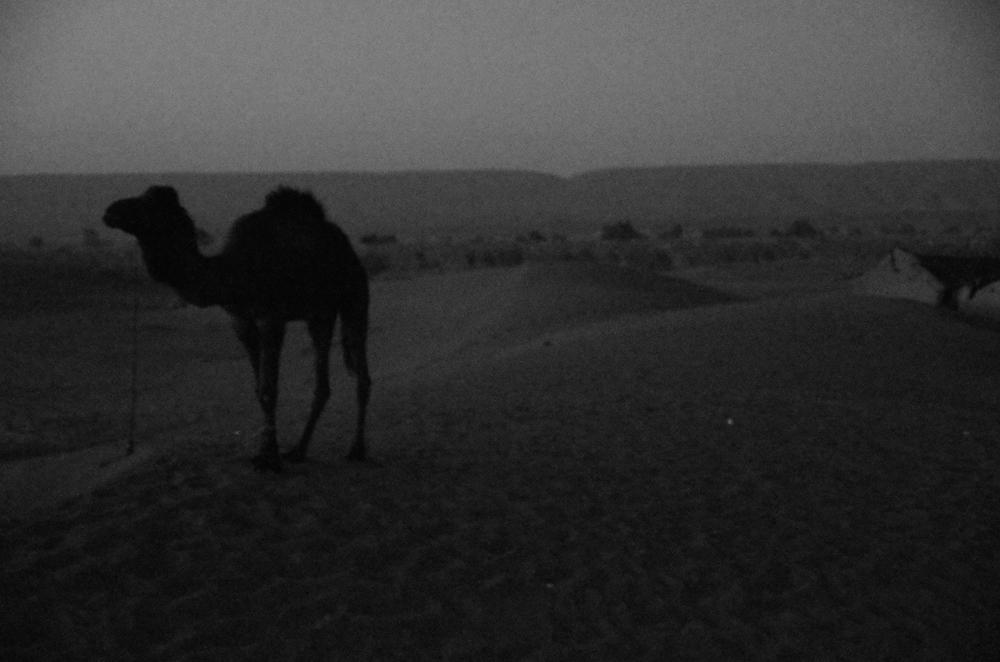 Camel, Algerian border