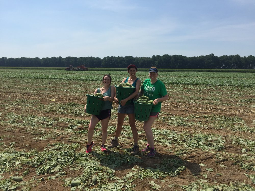 FRN staff members gleaning cucumbers from a family farm in Federalsburg, MD