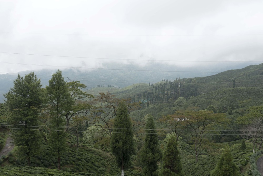 Thurbo tea estate in Darjeeling, with a view across to Nepal.