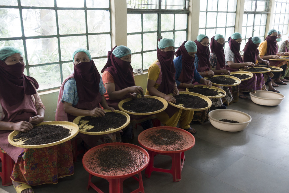 Tea leaves being sorted by hand.