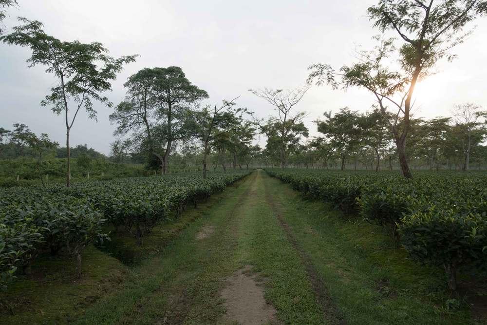 An Assam tea estate, flat and seemingly endless.