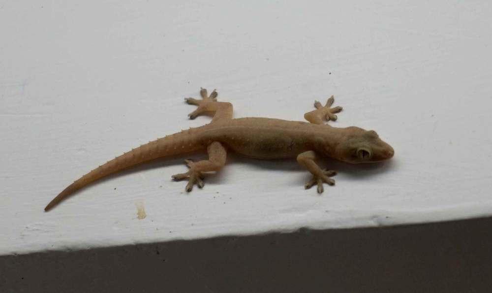 A small Assam lizard says hello.