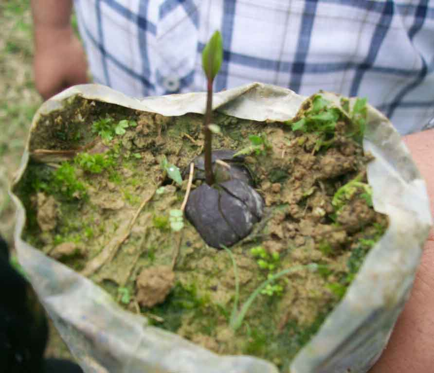 Tea plant seedling.
