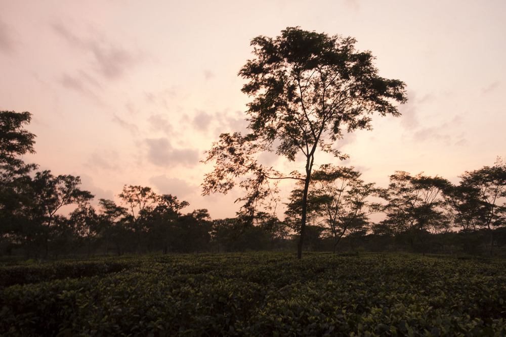 Stunning sunset at Amgoorie Tea Estate.