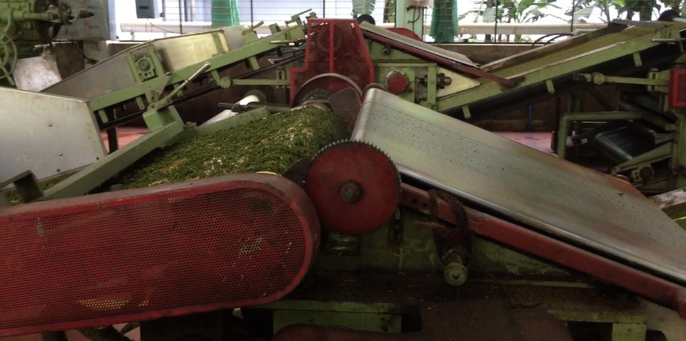 CTC (cut, tear, curl): The green leaves are being torn into smaller pieces by turning wheels.