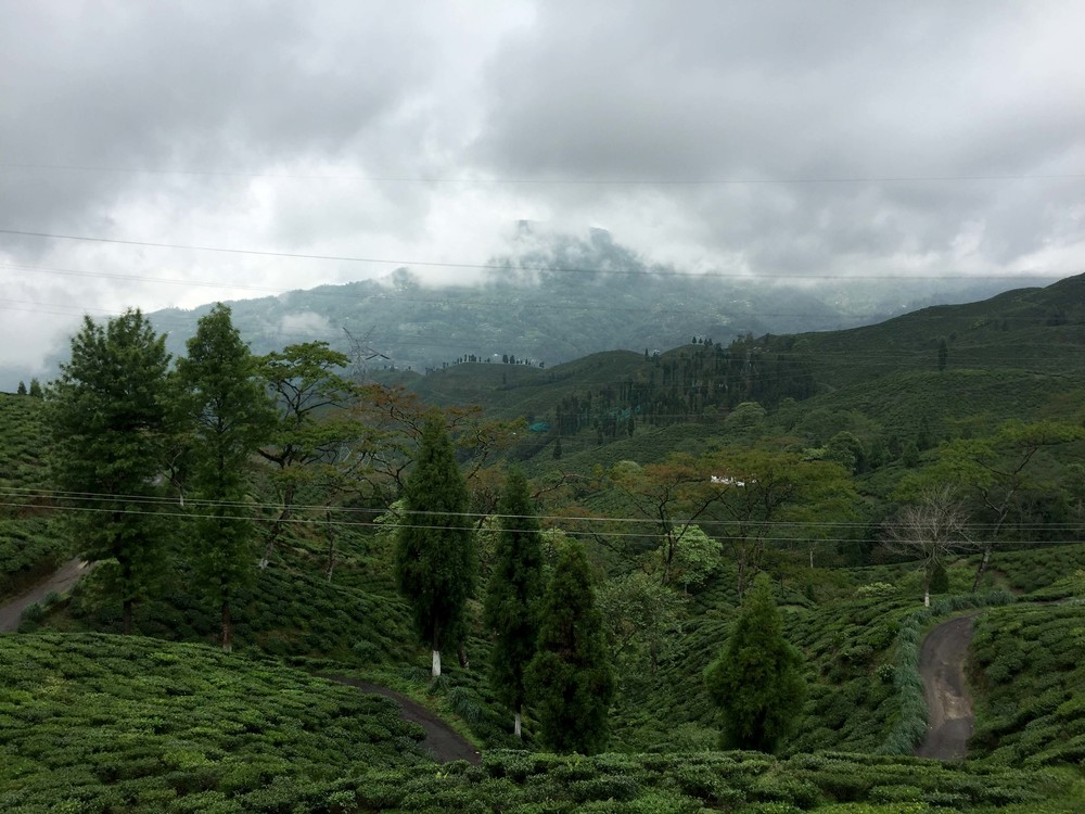 Rolling fields of tea, stretching across to Nepal, still shrouded in mist.