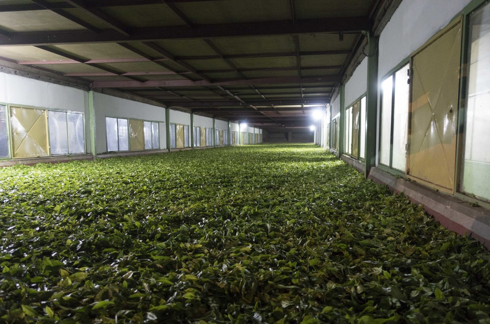 A withering trough at Keyhung. Air is being blown over the tea to reduce its moisture content.