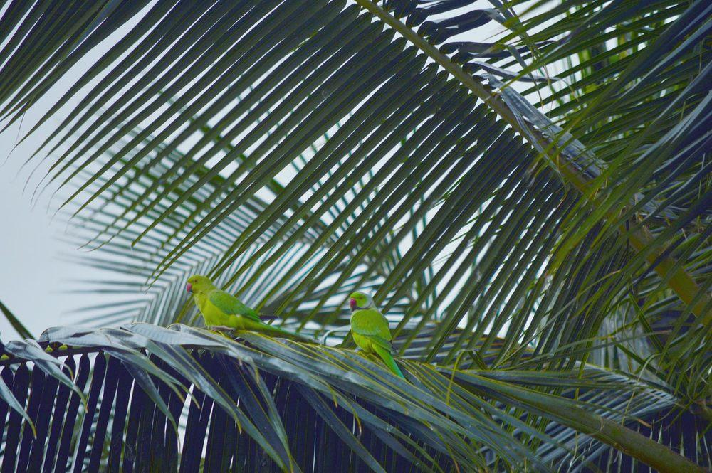 Parrots Kuai