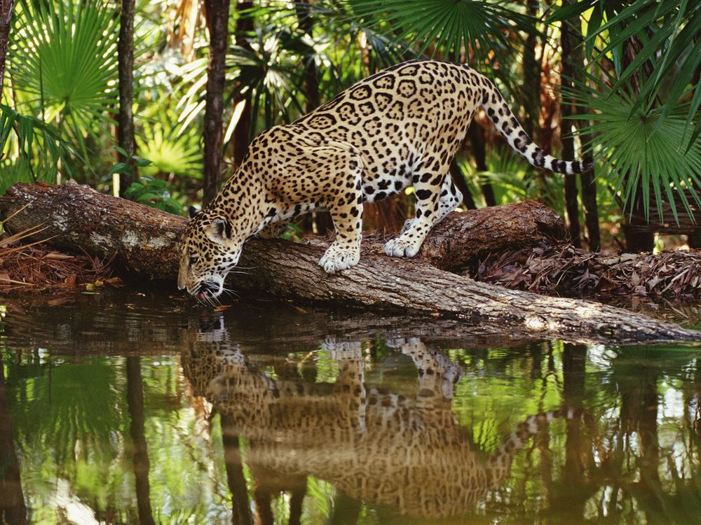 belize-jaguar.jpg