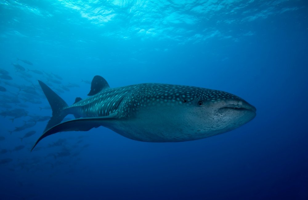 Whale Shark Scuba in Belize