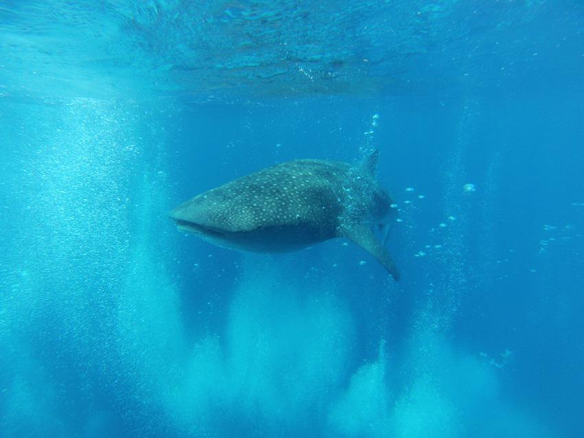 Ian whale shark 2 sml[4].jpg