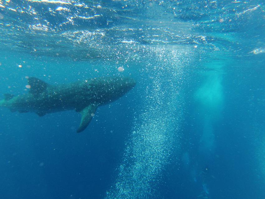 Ian Whale shark 1 sml[4].jpg