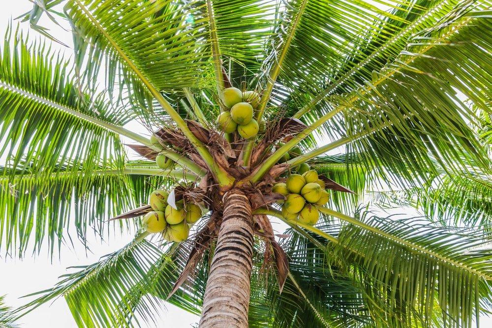 devarya coconuts.jpg