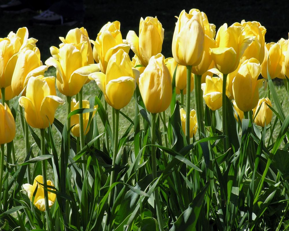 yellow tulips up close.jpg