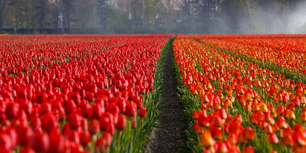 Holland Tulip Festival American Classic Tours - Holland tulip festival