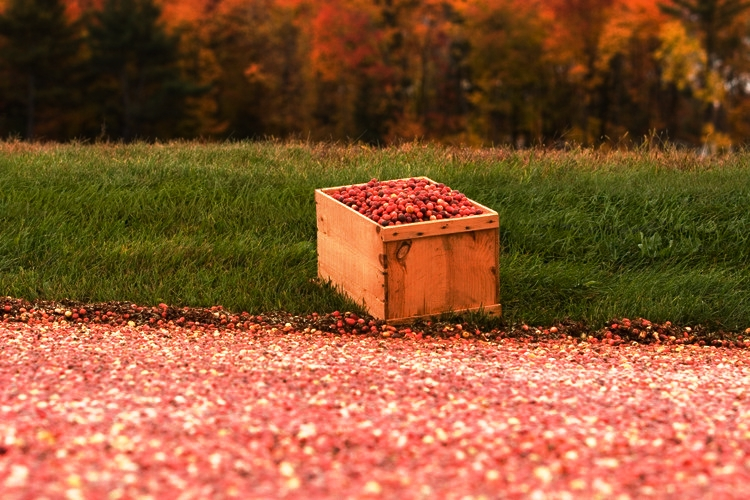 Fall cranberry harvest 8.jpg
