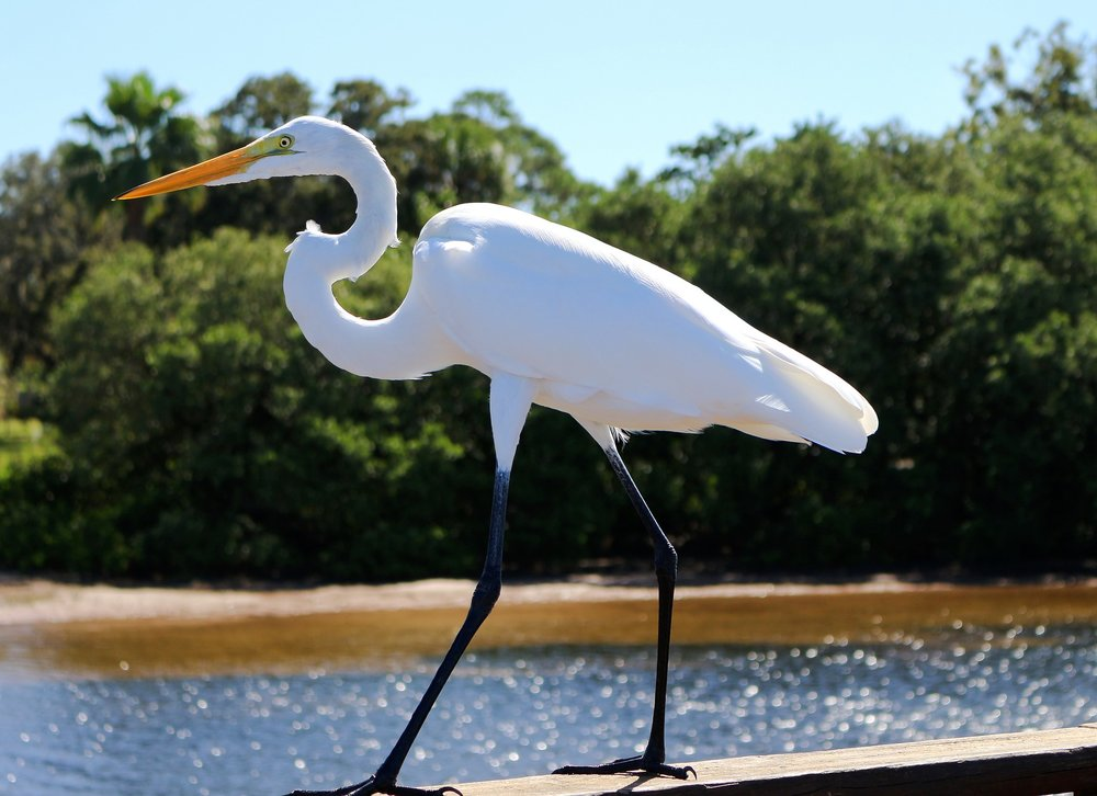 great-egret-1747766_1920.jpg