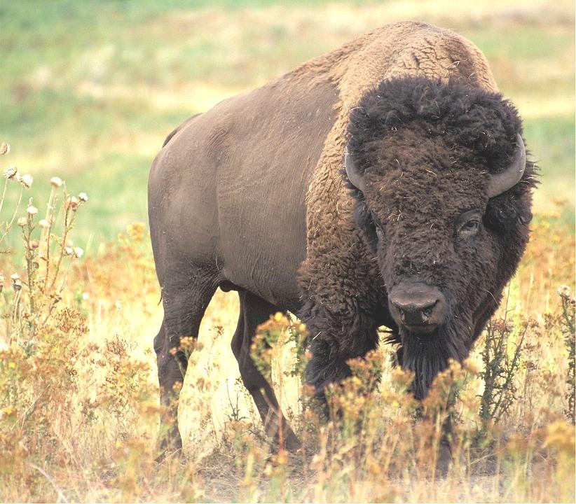 bison-526805_960_720.jpg