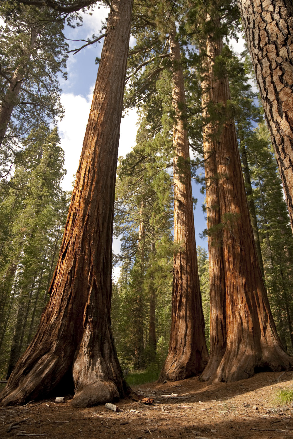 Giant Sequoias.jpg