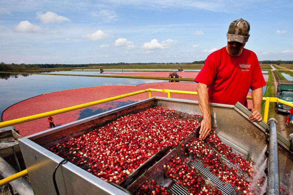 Fall cranberry harvest 9.jpg