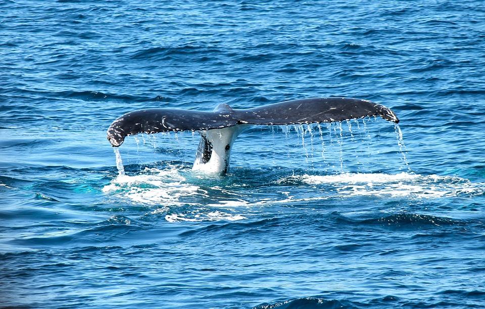 whale-367233_960_720.jpg